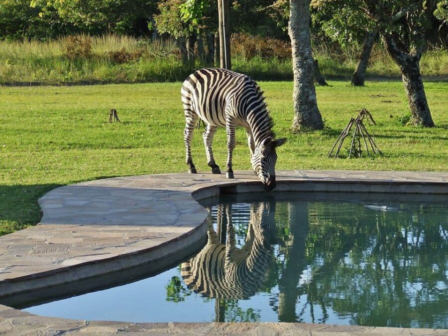 Zebra by Pool